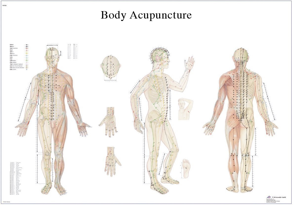 Anatomical Laminated Acupuncture Chart